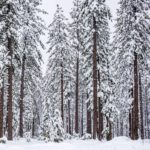 Truckee Trees in the Snow